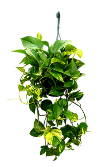 8in-hanging-golden-pothos.png