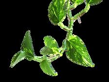 Vine_Money_plant.png
