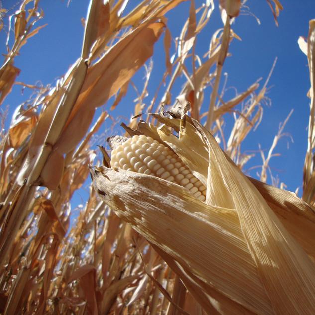 Food Grade White Corn