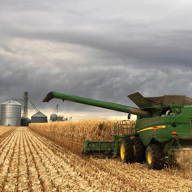 White Food Grade Corn