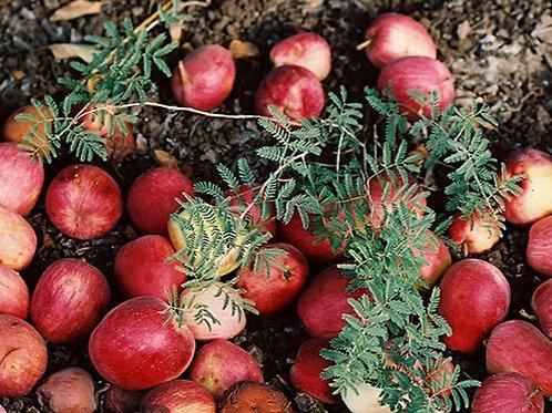 Apple Cinnamon Flavoring