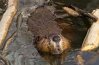 peggyray-beaverswimming.jpg