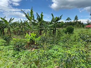 model coffee garden and bananas.jpg