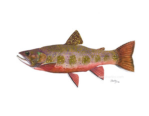 Brook Trout Study