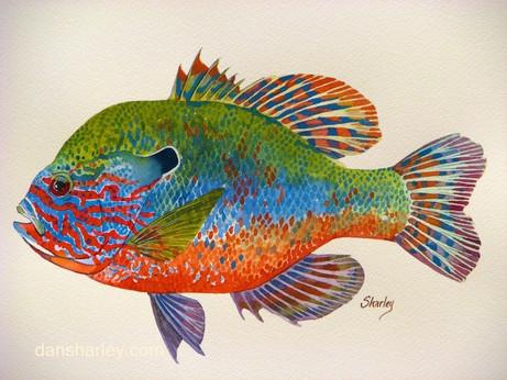 Longeared Sunfish