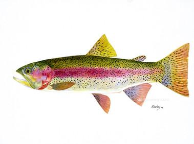Rainbow Trout Study