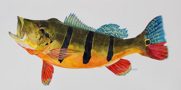 Tucunare' Peacock Bass