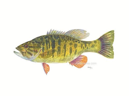 """""""Smallmouth Bass Study"""""""