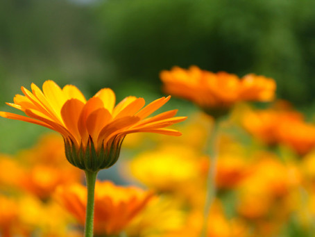 Liquid Gold: Make Your Own Calendula Oil