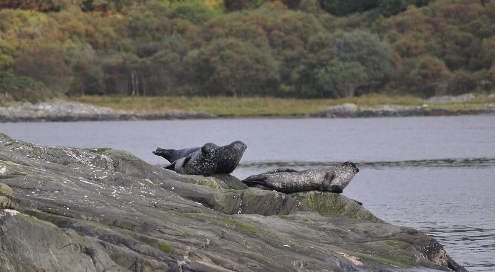 Some of the seals we encounter on our Scottish boat tours on Loch Fyne