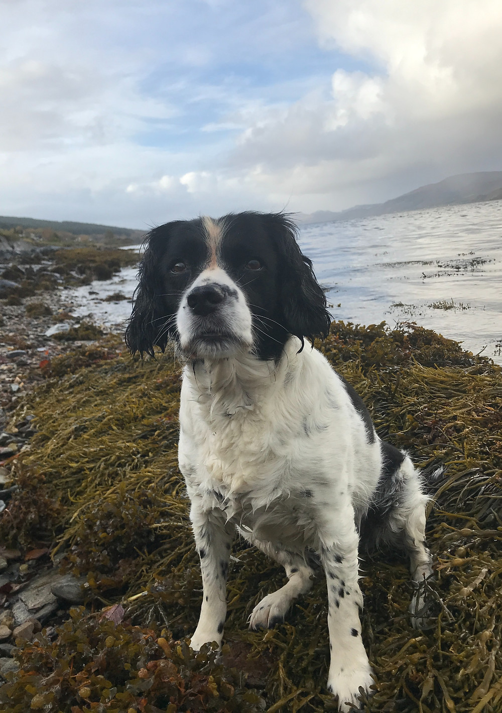 Our Springer Spaniel Crystal on the shore of Loch Fyne at Strachur, part of the crew on Fyne Explorer