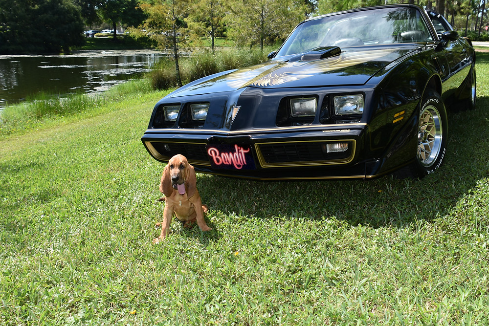"""Bandit posing in front of the late Burt Reynolds Pontiac Trans Am from the movie """"Smokey & the Bandit"""""""