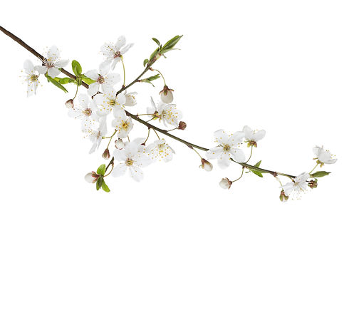 Cherry in blossom Feng Shui