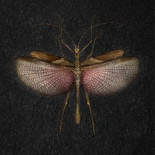 In01-Heteropteryx Dilatata