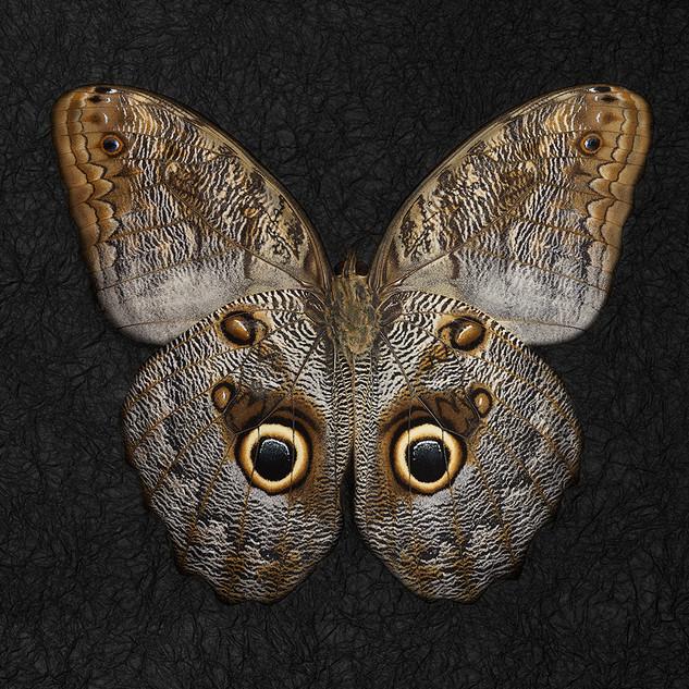 In02-Caligo telamonius