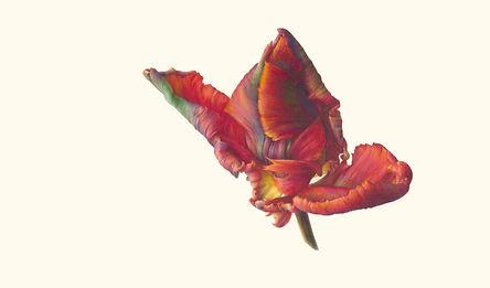 2. Bud (Tulipa 'Blumex Parrot') V.jpg