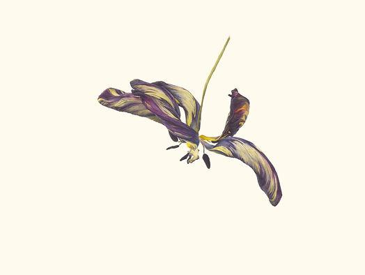 6. Tulipa 'Joseph Paxton' V.jpg