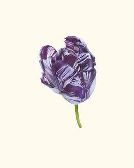 15. Tulipa 'Rory McEwen' V.jpg