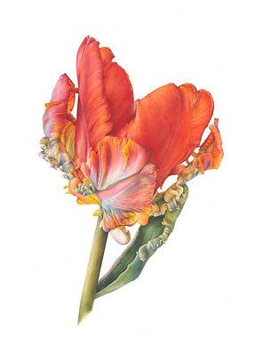 Parrot Tulip, Rococo.jpg