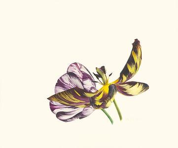 18. Tulipa 'Joseph Paxton' and Adonis'.j