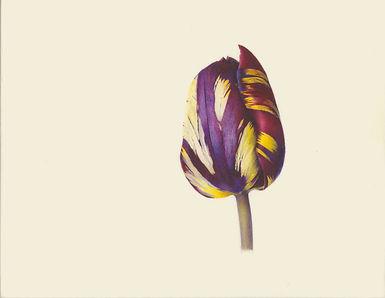 Tulipa, Absalon.jpg