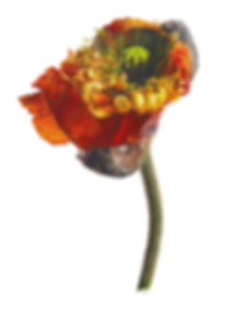 Papaver,June Poppy.jpg