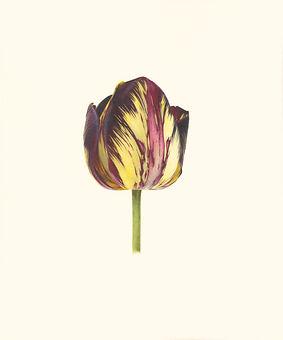 17. Tulipa 'Lord Stanley'.jpg