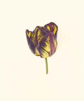 5. Tulipa 'Lord Stanley V.jpg