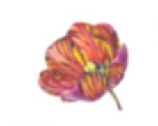 Open Absalon (Tulipa 'Absalon').jpg
