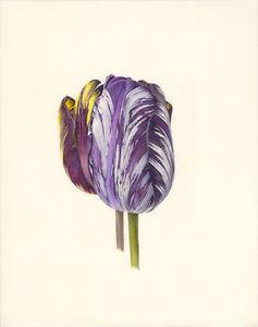 10. Tulipa 'Lord Stanley 'Mabel V.jpg