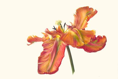 7. Tulipa 'Blumex Parrot' V.jpg