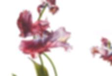Tulipa 'Estella Rijnveld 2jpg.jpg