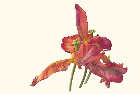 3. Group Portrait (Tulipa 'Blumex Parrot