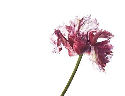 Tulipa 'Estella Rijnveld'.jpg