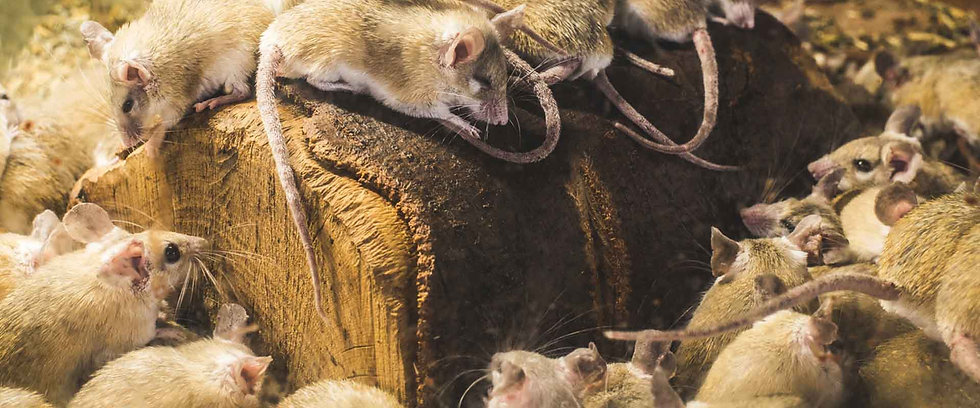 rodent-proofing-control-attic-crew.jpg