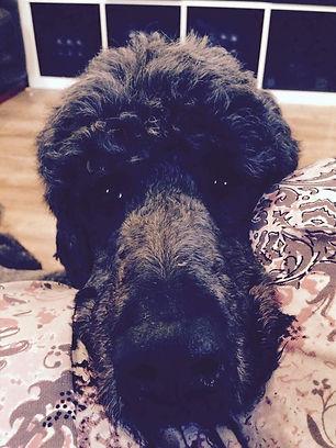Shadow_black_standard_poodle.jpg