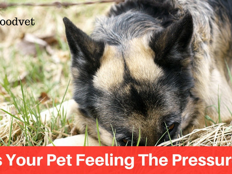 Is Your Pet Feeling The Pressure?