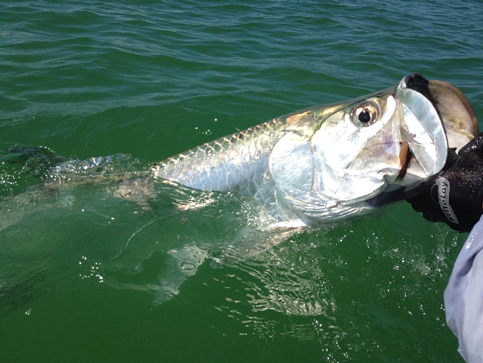 Tampa bay fly fishing light tackle guide for Tampa fly fishing