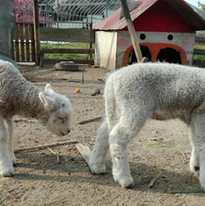 羊赤ちゃん1.jpg
