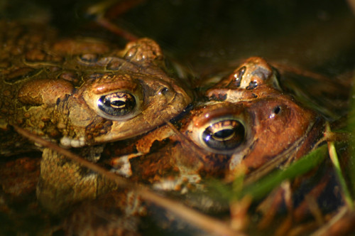couples_frogs_lg.jpg