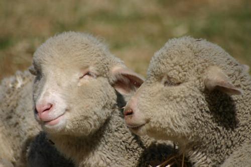 couples_lambs_lg.jpg