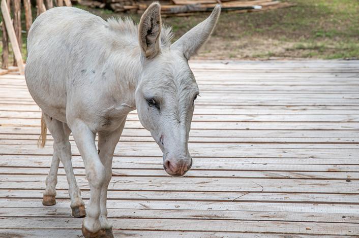 Cabin on the Ridge - Mini Donkey