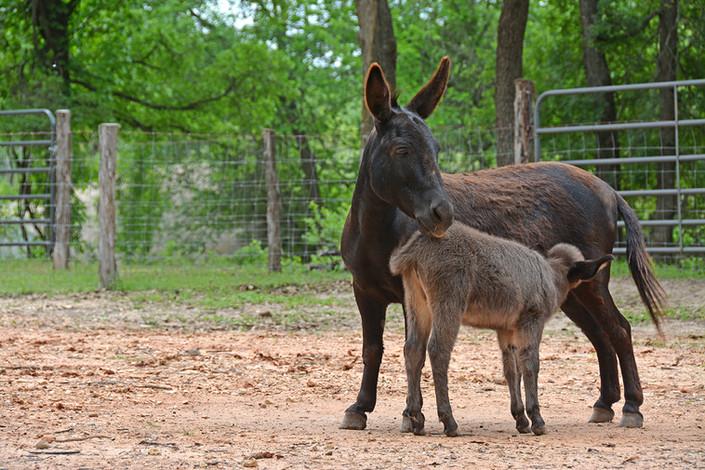 Cabin on the Ridge - Mini Donkey Mom and Baby