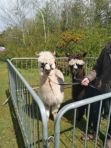 Alpacas Roulette and Alfonzo at Country