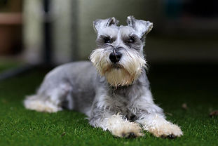 Bertie, the miniature Schnauser.jpg