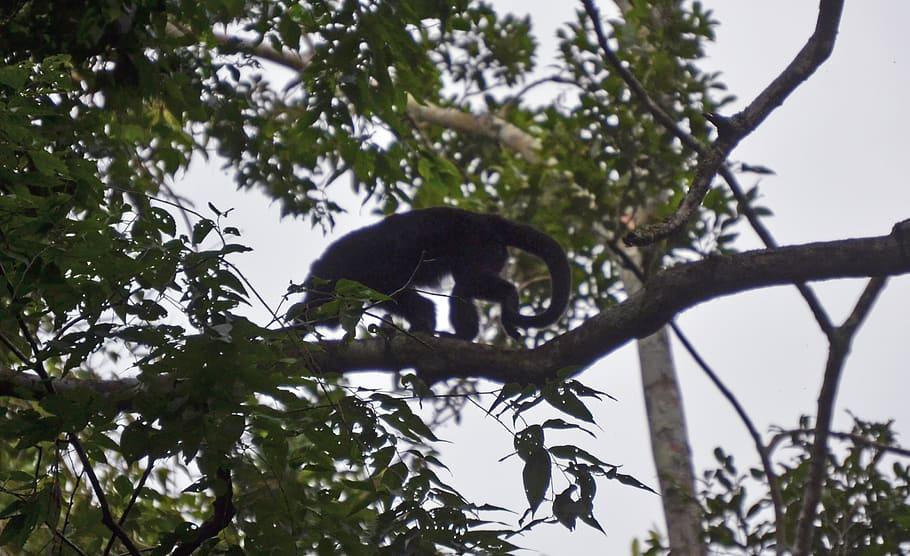 guatemala-laguna-yaxja-howler-monkey
