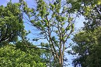 Ash Dieback tree.PNG