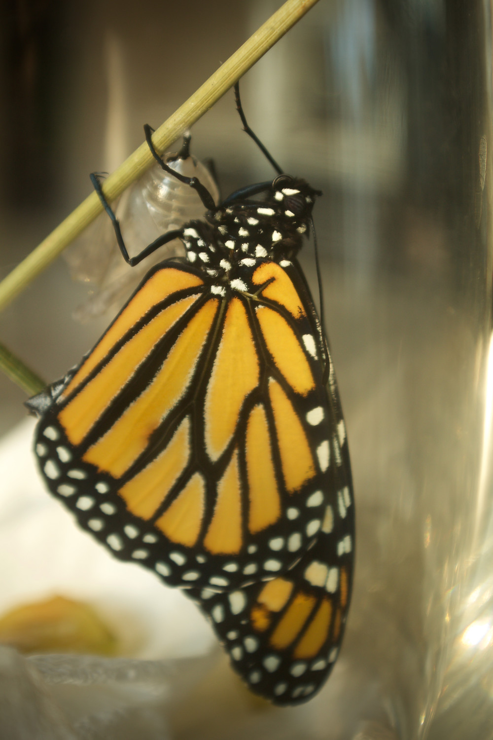 Monarch butterfly raised by Blue Sky Daycare home daycare children from egg to butterfly
