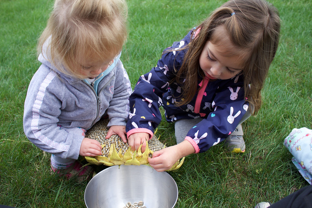 Blue Sky Daycare home daycare children plucking sunflower seeds from a sunflower they grew