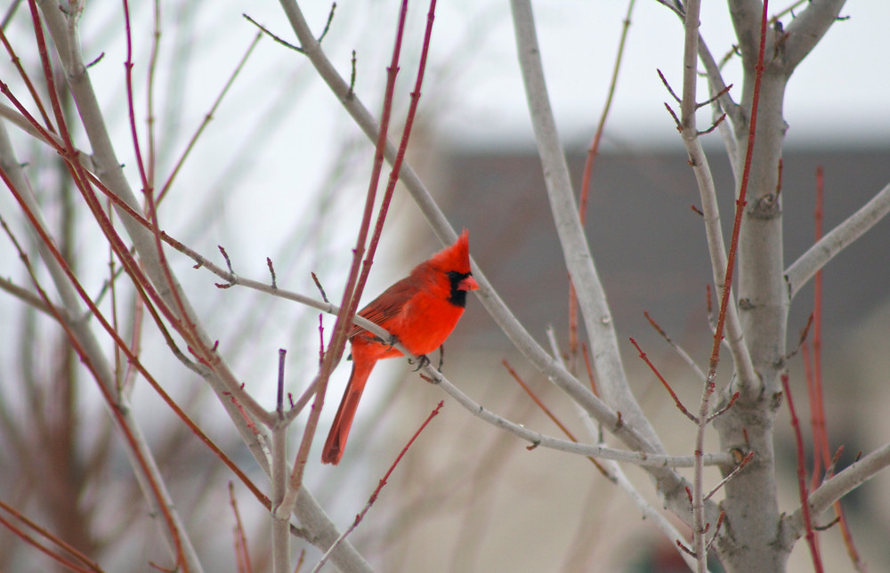 Cardinal spotted by Blue Sky Daycare home daycare children during the Great Backyard Bird Count 2015